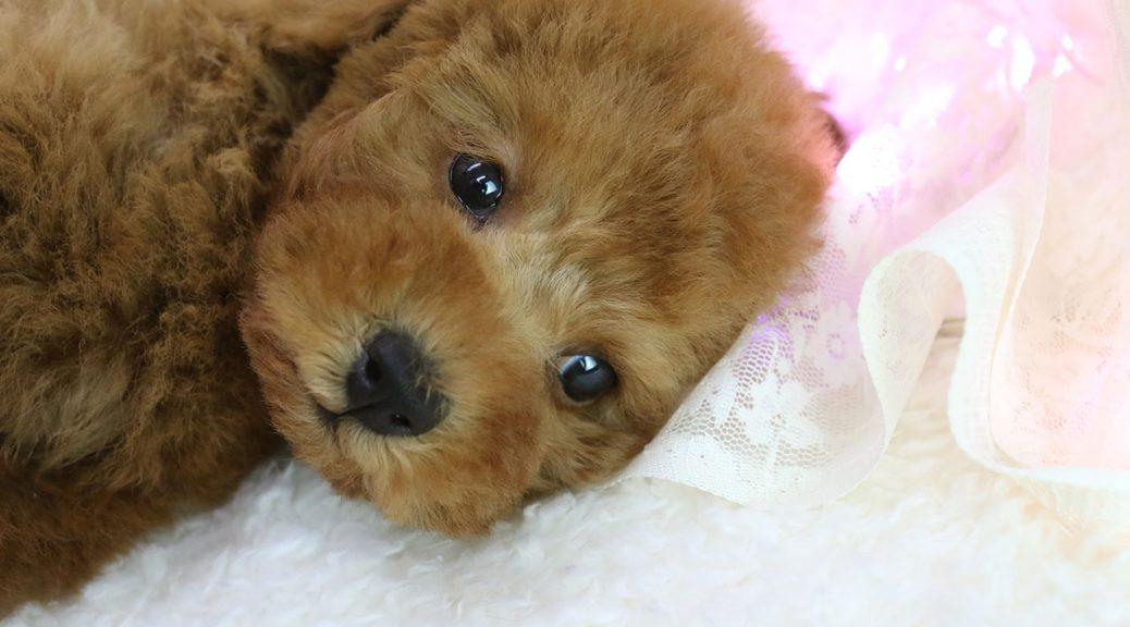 レッドカラートイプードル女の子。子犬写真